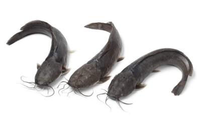 Nuna Tengra / Guli Tengra / Singhara / Premium Long Whiskered Catfish / Vellakoori