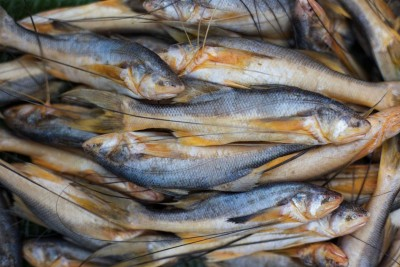 Kolkata Topshe / তপসে / Mango Fish / Cichlid - Whole  (As is without cleaning and cutting)