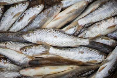 Bata Fish / বাটা/  Reba Fish/ Labeo bata  (Kolkata/Malancha)  - Whole (uncleaned, as is )
