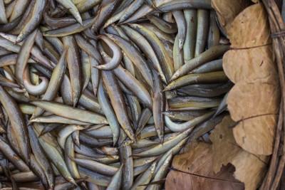 **Exclusive**  Pakal/ পাঁকাল/ Baan / Bengal Eel  - Whole (Uncleaned) (Pack of 500g)