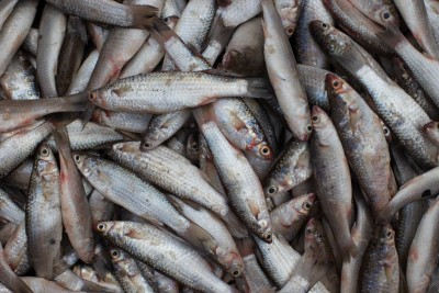 Kolkata Parshe Fish / পারশে / Shorda / Boi / Kanambu / Gold Spot Mullet (Kolkata / Malancha Special) - Whole (uncleaned, as is )