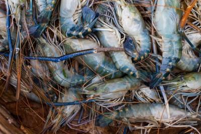 Lobster Scampi / Attukonchu / Jinga / Golda Chingdi (Large)