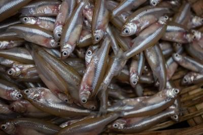 Mourala Maach / Mola Carplet Fish / মৌরলা  (Kolkata/Malancha) (Uncleaned, as is )