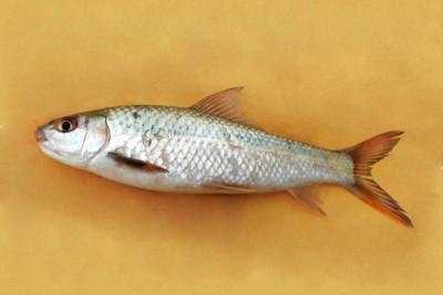 Bata Fish
