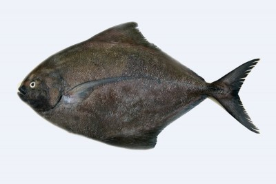 Black Pomfret / Karutha Avoli (300g to 700g) - Whole