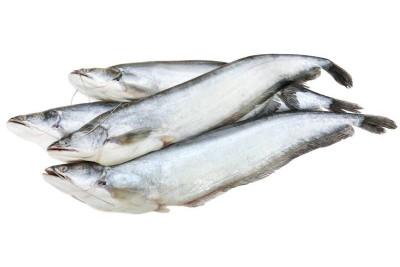 Boal Fish / Attu Vaala / Malli
