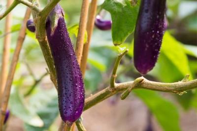 Brinjal Long Violet