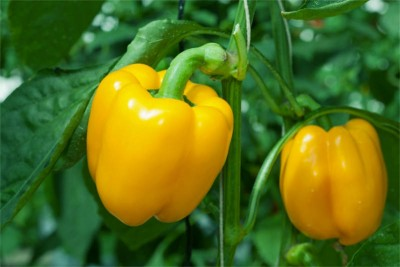 Yellow Capsicum Bell Pepper
