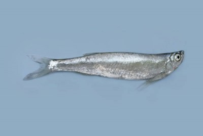 Chela fish
