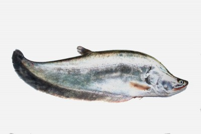 Chitol / চিতল/ চেতল / Chitala / Knifefish