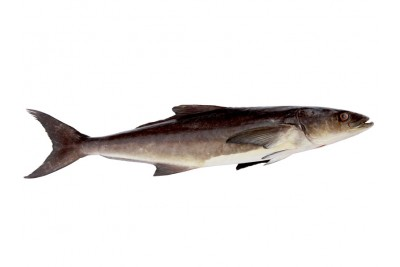 Cobia / Motha - Whole