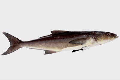 Cobia / Motha (Small) - Whole