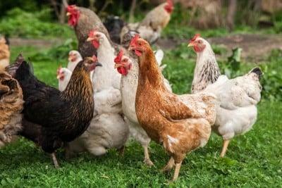Country Chicken / Desi Chicken / Natti Koli (Free Range & With Skin, Pack)