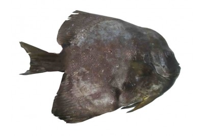 False Pomfret / Bheeman Avoli - Whole