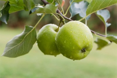 Apple Granny Smith / Green Apple