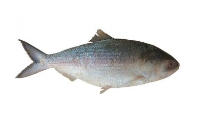Hilsa / Ilish (150g to 300g) - Whole