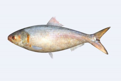 Hilsa / Ilish (Large) - Whole