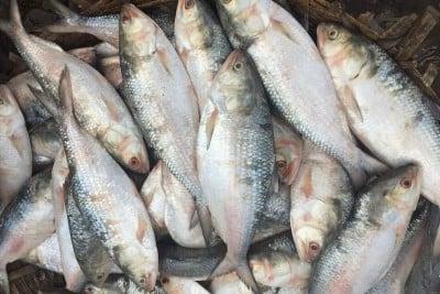 Hilsa / Ilish - (Whole Fish Size 1.8kg-1.9kg) (Cleaned, Bengali Round cut) 1pc