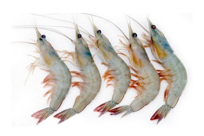 Indian Prawns / Venami / Vannamei (30+ Count/kg) - Whole (Not Cleaned)