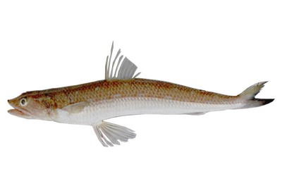 Kada Varaal / Lizard Fish - Whole