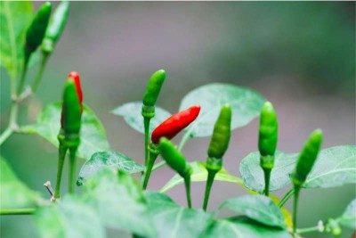 Chilli Small Hot / Kanthari Mulaku / Bird Eye Chilli