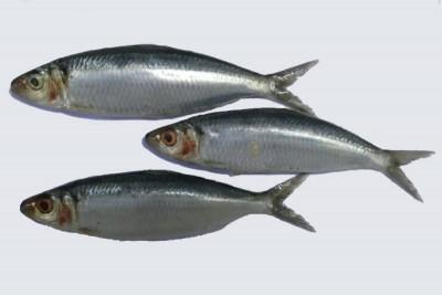 Kanyakumari Sardine / Mathi / ಭೂತಾಯಿ - Whole