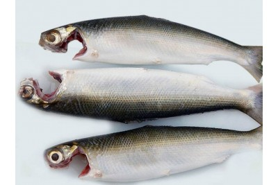 Marine Milk Fish / Poomeen (Large) - Whole cleaned