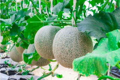 Musk Melon Round