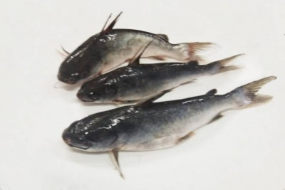 Nuna Tengra / Guli Tengra /  Premium Long Whiskered Catfish - Whole