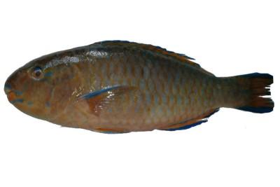 Parrot Fish - Fillet