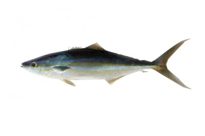 Rainbow Runner / Kadal Poomeen / Premium Milk Fish