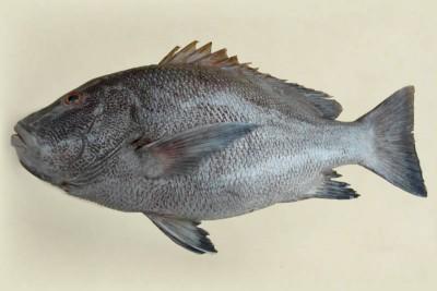Rockfish - Whole