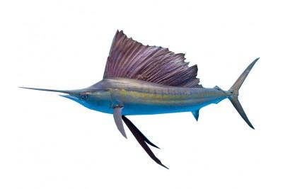 Sail Fish / Ola Meen - Whole