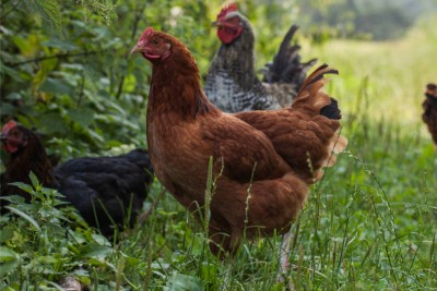 Premium Naturally Reared Slow Growth Chicken Sasso breed