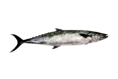 Seer Fish / King Fish / Surmai / Neymeen / Vanjaram / Anjal (5kg+)