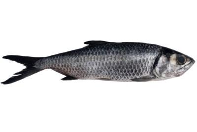 Freshwater Mullet / Kayal Kanni - Whole