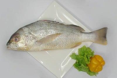 Silver Snapper / Cochin Marine Catla