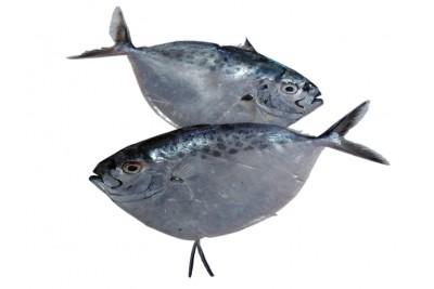 Silver Belly / Avoli Mullan / Paa Mullan - Whole