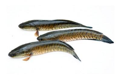 Live Premium Snake Head Fish / Varaal / Bral / Kannan / Murrel from FreshToHome Farms
