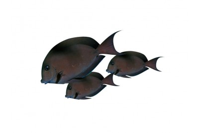 Surgeon Fish / Doctor Fish - Whole