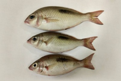 Indian White Perch / Vella Kilimeen - Whole (As is without cleaning and cutting)