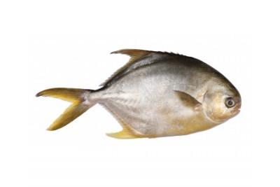 Yellow Pomfret / Valavadi - Whole