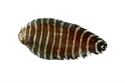 Zebra Sole Fish / Varayan Manthal - Whole