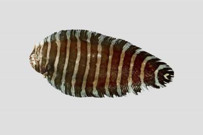 Zebra Sole Fish / Varayan Manthal - Whole