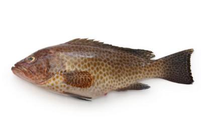 Hamour / Grouper / Reef Cod (Large)