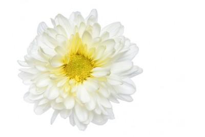 Chrysanthemum Flowers-White (Pack of 200g)