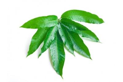 Festival Mango Leaves- 30grams