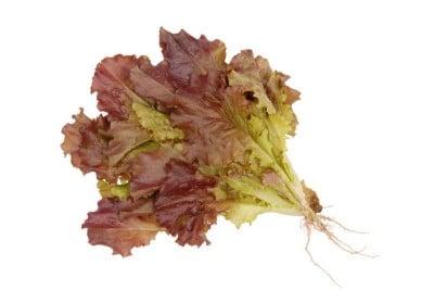 Lettuce Red (1 unit)